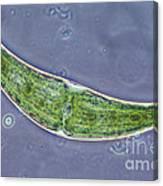 Closterium Sp. Algae Lm Canvas Print