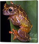 Clown Tree Frog Canvas Print