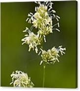 Cocksfoot Grass (dactylis Glomerata) Canvas Print