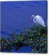 Common Egret Canvas Print