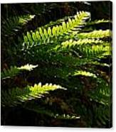 Common Polypody Canvas Print
