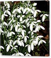 Common Snowdrop (galanthus Nivalis) Canvas Print