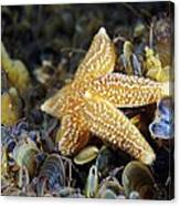 Common Starfish Feeding Canvas Print