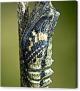 Common Swallowtail Chrysalis Canvas Print