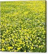 Corn Marigolds (chrysanthemum Segetum) Canvas Print