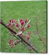 Crab Apple Tree Buds Canvas Print