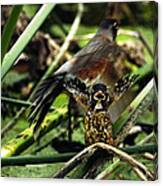 Cry Of The American Robin. Canvas Print