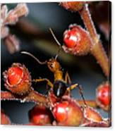 Curious Ant Canvas Print