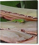 Curious Gecko Canvas Print