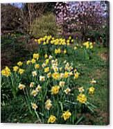 Daffodils (narcissus Sp.) Canvas Print