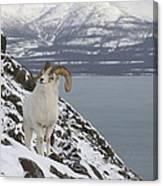 Dall Sheep Ovis Dalli Ram, Yukon Canvas Print