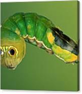 Dead-leaf Moth Oxytenis Modestia Canvas Print