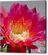 Deep Pink Cactus Flower Canvas Print