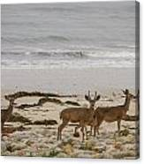Deer On Beach Canvas Print