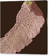 Dog Tapeworm, Sem Canvas Print