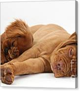 Dogue De Bordeaux And Cavalier King Canvas Print