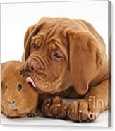 Dogue De Bordeaux Puppy With Red Guinea Canvas Print