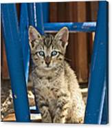 Domestic Cat Felis Catus Kitten, Germany Canvas Print