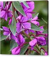Dwarf Fireweed Canvas Print