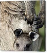 Eastern Grey Kangaroo Joey Canvas Print