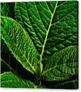 Emerging Hydrangea Leaf Canvas Print