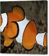 False Clownfish Canvas Print