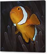 False Ocellaris Clownfish In Its Host Canvas Print