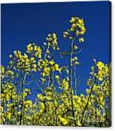 Field Of Rape In Bloom. Auvergne. France. Europe Canvas Print