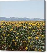 Fields Of Safflowers Canvas Print
