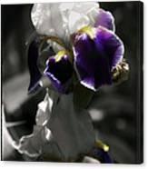 Filoli Iris Canvas Print
