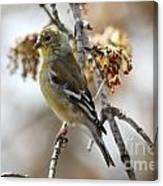 Finch Canvas Print