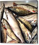 Fine Catch Of Trout Canvas Print