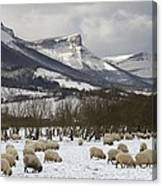 Flock Of Sheep In The Snow Canvas Print
