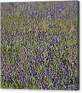 Flower Known As Salvation Jane Canvas Print
