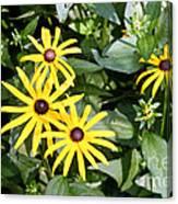 Flower Rudbeckia Fulgida In Full Canvas Print