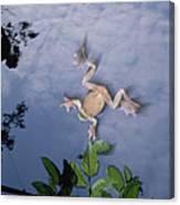 Foam Nest Tree Frog Polypedates Dennysi Canvas Print