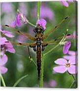 Four-spotted Skimmer Canvas Print