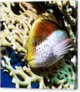 Freckled Hawkfish Canvas Print