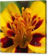French Marigold Named Starfire Canvas Print