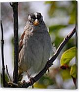 Gambel's White Crowned Sparrow Canvas Print