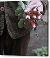 Gardener Holding Freshly Picked Radishes Canvas Print