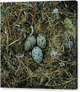 Glaucous-winged Gull Nest With Three Canvas Print