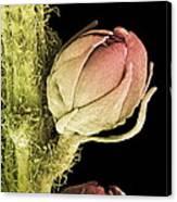Goat's Beard Flower, Sem Canvas Print