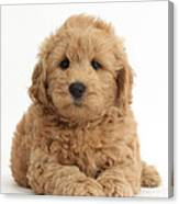 Goldendoodle Puppy Canvas Print