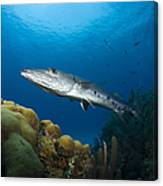 Great Barracuda, Belize Canvas Print