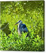 Great Blue Heron Hiding Canvas Print
