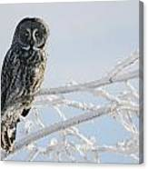 Great Grey Owl, Northern British Canvas Print