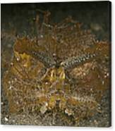 Green Ambon Scorpionfish, North Canvas Print