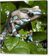 Green And Black Poison Frog Canvas Print