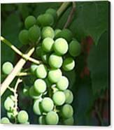 Green Grape Bunch Canvas Print